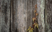 vines growing on barn wood