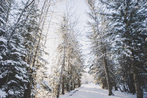 snowy winter road with tall trees and sunlight