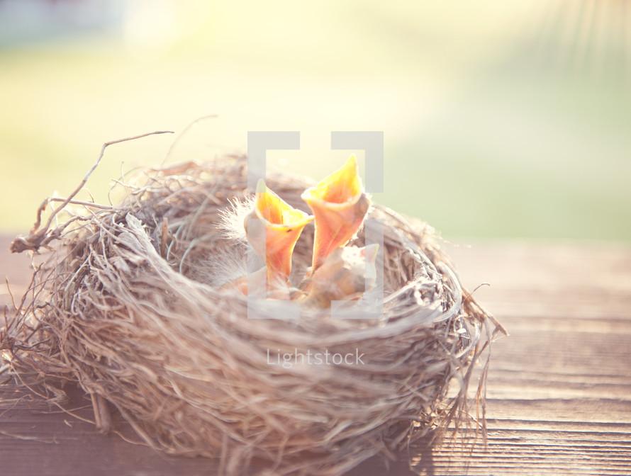Baby birds inside nest