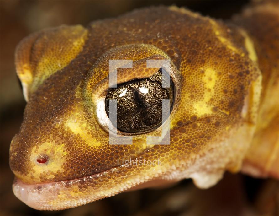 brown gecko lizard