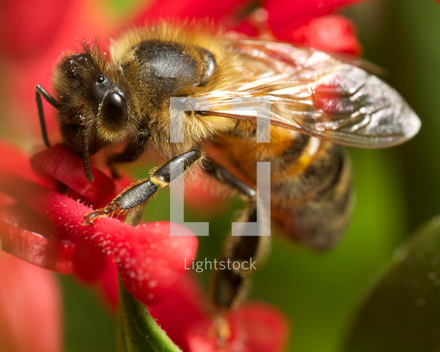 bee on a red grevillea flower