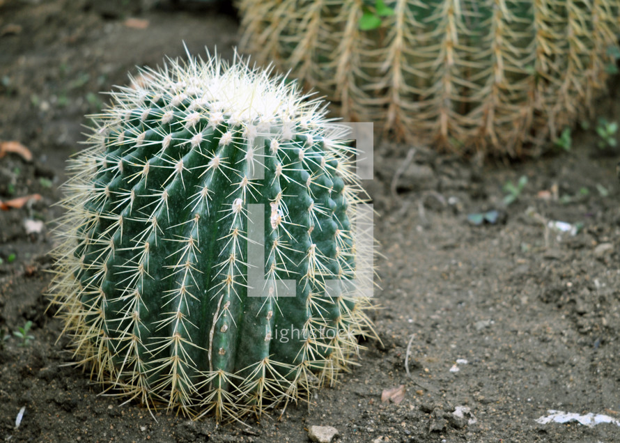 Barrel cactus;  definitely a hands-off policy is best.