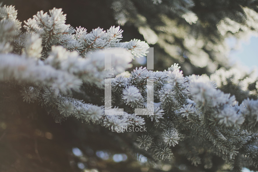 a close up of frosty and snow covered pine branches