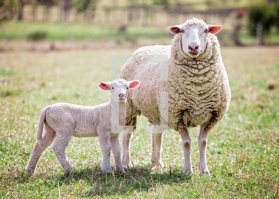 mother sheep and her baby lamb