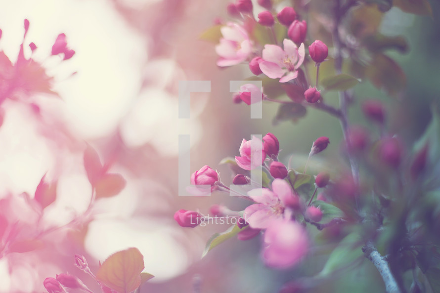 toned image of spring blossoms in tree