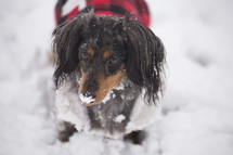 dogs in a coat in snow