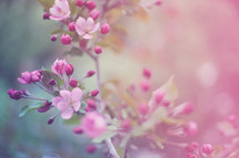a toned photo of spring blossoms on tree