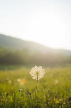 Queen Anne's lace flower in a meadow
