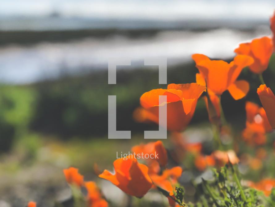 orange spring flowers