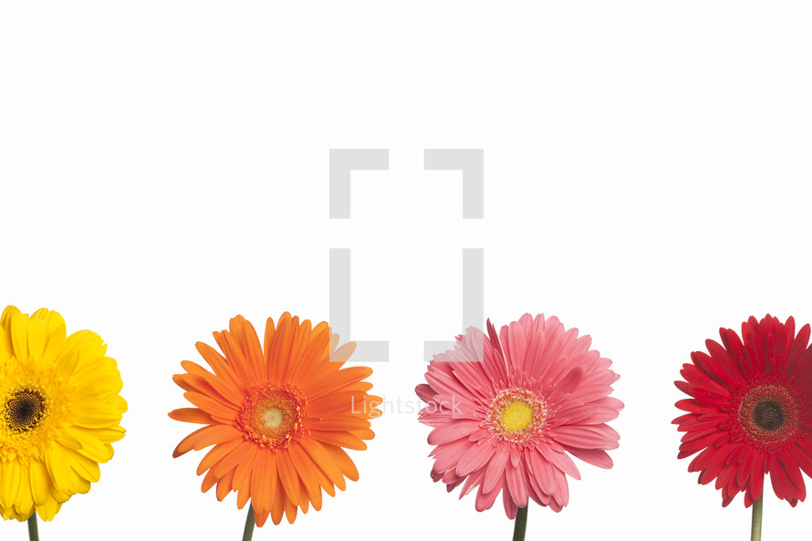 Colorful Gerber daisies on white background.