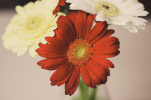 white and red gerber daisies