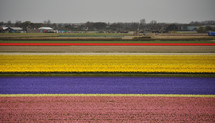Colorful tulip fields ready for harvest in Holland.