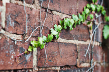 ivy on a brick wall