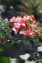 pink and orange desert bougainvillea flower