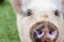 pig with a dirty snout