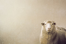 Sheep against a white background
