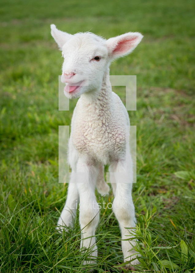 lamb standing in grass