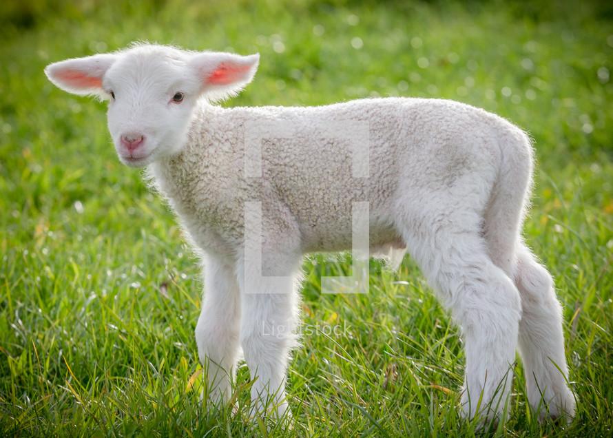 lamb standing in grass