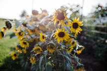 sunlight on sunflowers in a garden
