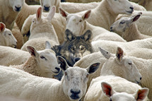 Wolf among the sheep