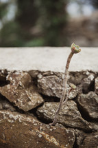 sprout growing from a stone wall