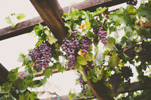 grapes hanging in a vineyard