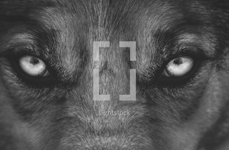 Wolf eyes black and white