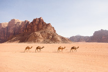 camels roaming through the desert