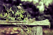 rose bush growing up a fence post