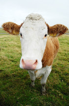 Close-up of a cow in a pasture