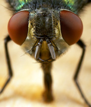 Close up of housefly.