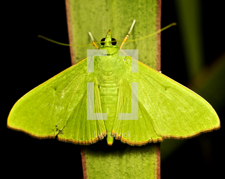 Green moth on a blade of grass.