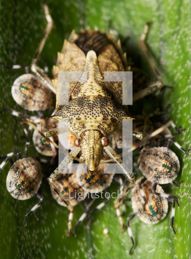 mother shield bug and babies