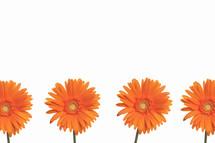 Orange Gerber daisies.