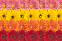 Rows of colorful Gerber daisies.