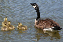 Canada Goose and babies goslings