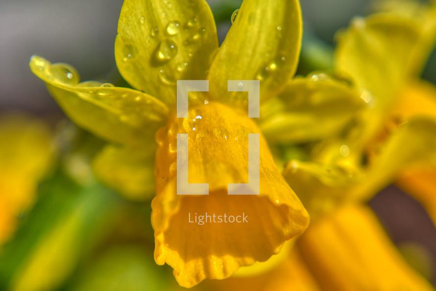 wet yellow daffodil
