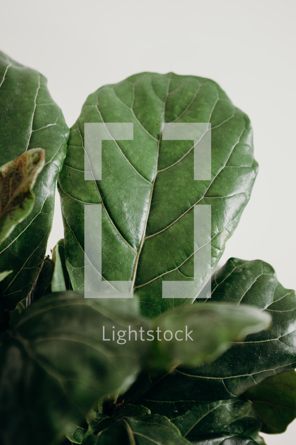 Fiddle Leaf Fig Plant Leaf