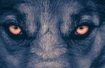 Scary Wolf eyes