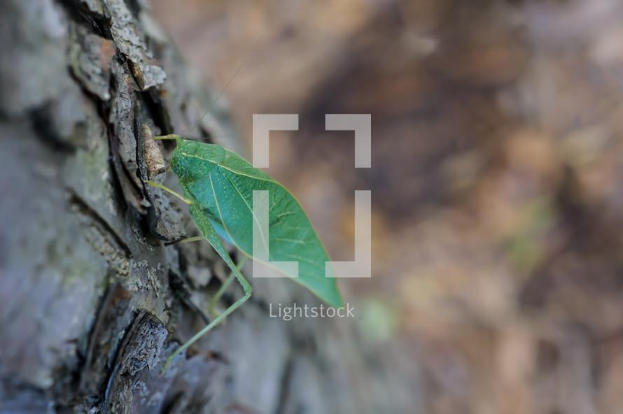 Katydid on tree bark.
