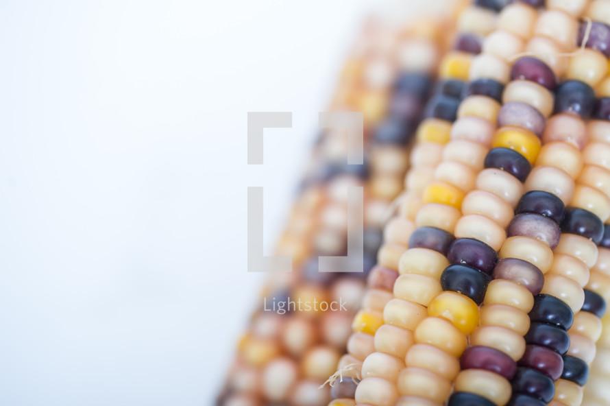 Closeup of Indian corn cobs.