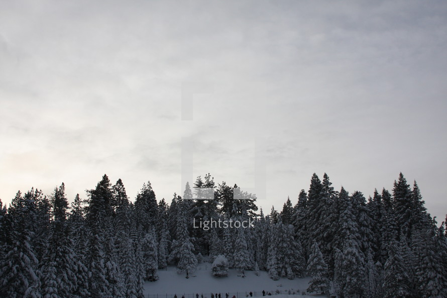 snow covered trees in a pine forest