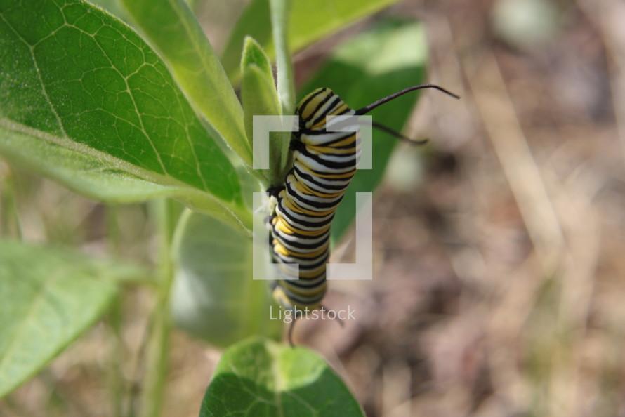 monarch caterpillar crawling on a leaf
