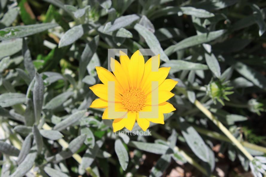 yellow coastal flower