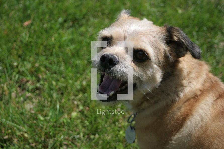 Terrier dog on green grass in summer
