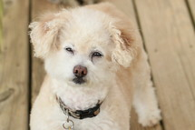 White Fluffy Dog Thinking and Focused