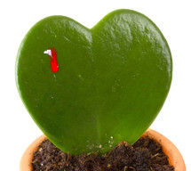 Heart shaped cactus while is stung by another plant with thorns.