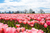 A field of pink tulips