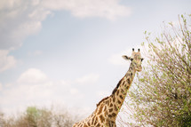 giraffe's long neck
