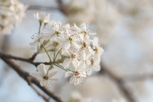 White Blooms of a Pear Tree